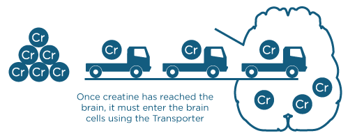 creatine-entering-brain